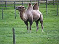 Camel at Little Durnford Manor - geograph.org.uk - 511856.jpg