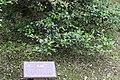 Camellia sasanqua, Hangzhou Botanical Garden 2018.06.03 16-13-59.jpg