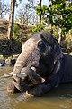 Camp Elephant Sitting TrunkOntusk River Mudumalai Mar21 A7C 00392.jpg