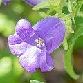 Campanula medium in Jardin des 5 sens.jpg
