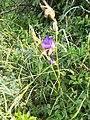 Campanula rotundifolia, familija Campanulaceae 01.jpg