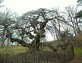 Camperdown Elm PP winter jeh.jpg