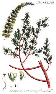 Camphorosmeae subfamily of plants