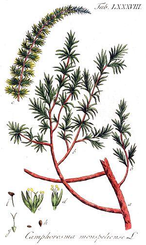 Camphorosmoideae - Camphorosma monspeliaca, Illustration