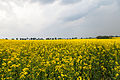 Campo de colza (Brassica napus), Malbork, Polonia, 2013-05-19, DD 03.jpg
