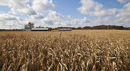 Indiana is the fifth largest corn-producing state in the U.S., with over 1 billion bushels harvested in 2013. Campo de maiz, Walker, Indiana, Estados Unidos, 2012-10-20, DD 03.jpg