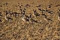 Canada goose - Branta canadensis (44149324074).jpg