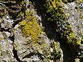 Candelariella xanthostigma G36.jpg