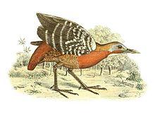 Canirallus kioloides 1868.jpg