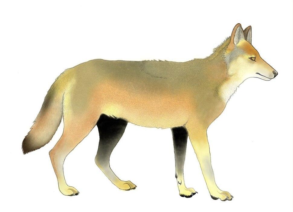 Canis othmani restoration