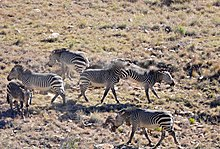 Six Mountain zebras quarrelling