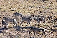 Seis cebras de montaña peleando
