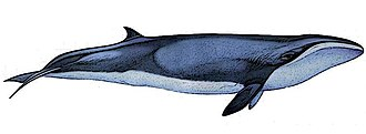 Baleen whale - Pygmy right whale illustration