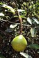 Capparis zeylanica 06.JPG