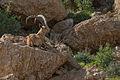 Capra nubiana, Israel 6.jpg