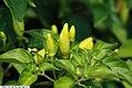Capsicum frutescens Tabasco 1zz.jpg