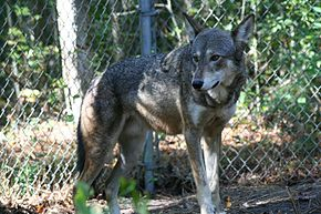 Captive male red wolf.jpg