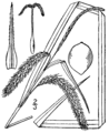 Carex crinita BB-1913.png