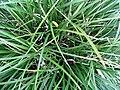 Carex morowii Kaga Nishiki 2zz.jpg