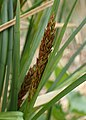 Carex paniculata kz03.jpg