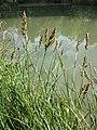 Carex paniculata sl12.jpg
