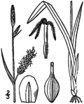 Carex polymorpha drawing 1.png