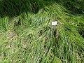 Carex reichenbachii - Botanical Garden, University of Frankfurt - DSC02615.JPG