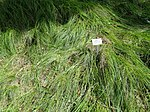 Carex reichenbachii - Botanical Garden, University of Frankfurt - DSC02615.JPG