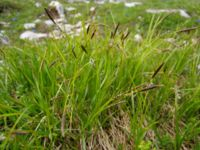 Carex sempervirens 01