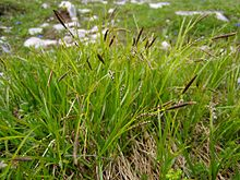 Carex sempervirens 01.jpg