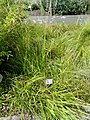 Carex strigosa - Botanical Garden, University of Frankfurt - DSC02726.JPG