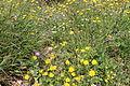 Carmel Flora - Hai-Bar Nature Reserve IMG 0790.JPG