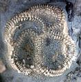 Carneyella ulrichi fossil edrioasteroid Upper Ordovician KY.jpg