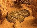 Cascabel de Mojave (Crotalus scutulatus).jpg