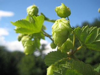 Cascade hop - Cascade hop cones in the sunlight