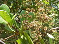 Cashew nut tree Anacardium occidentale flowering at Sangolda Goa DSCF0333 (11).JPG