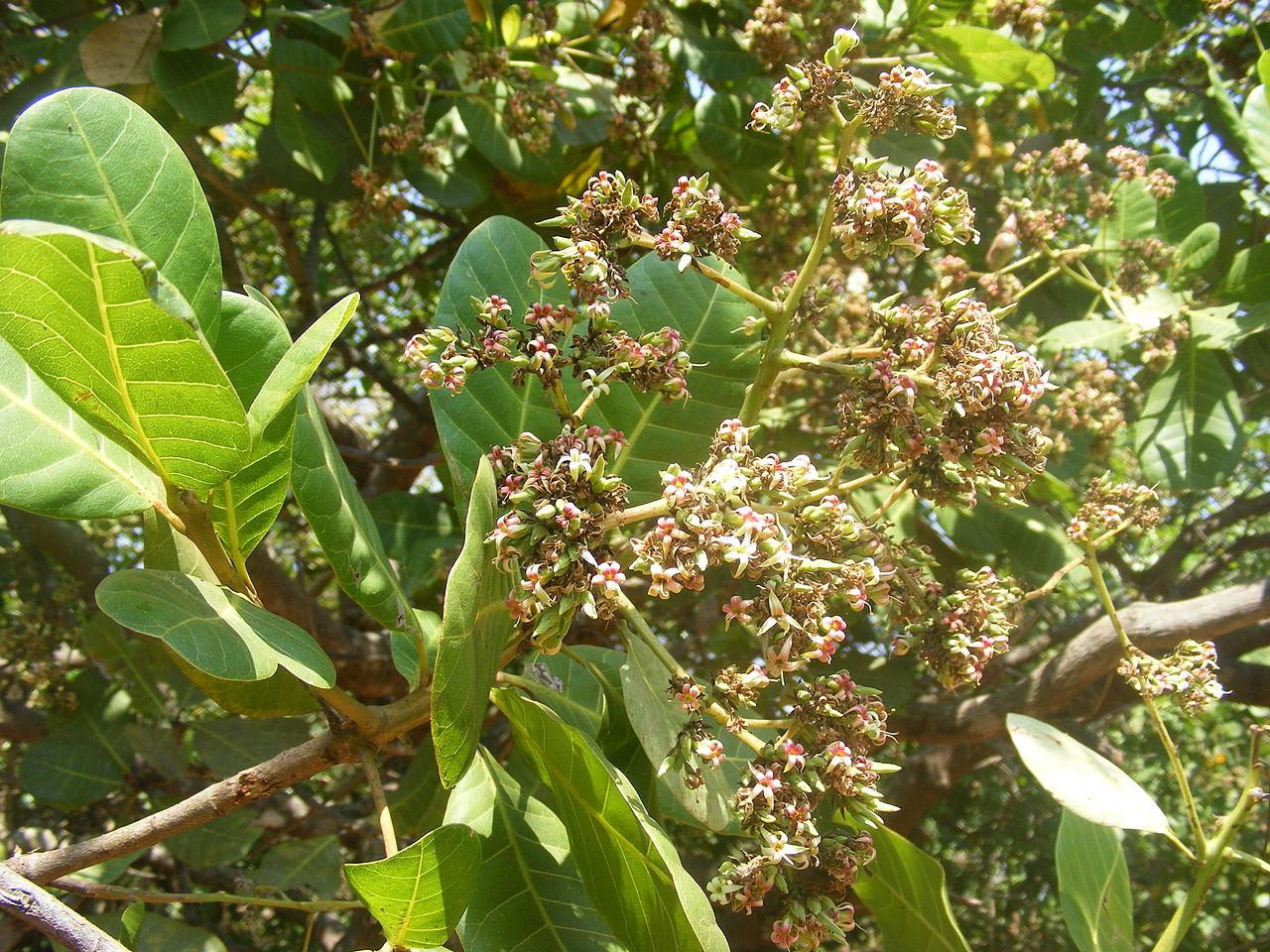 how to grow cashew tree