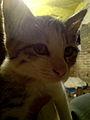Cat - pet - white & gray 3.JPG