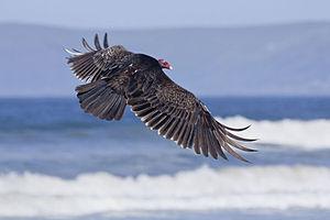 Cathartes - Turkey vulture in Morro Bay, California