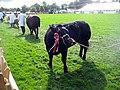 Cattle, 109th Poynton Show - geograph.org.uk - 1466403.jpg