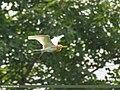 Cattle Egret (Bubulcus coromandus), Punjab, Pakistan (32702001718).jpg