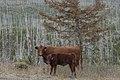 Cattle Trees768.jpg