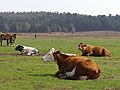 Cattle ruminating at Latchmore Bottom, New Forest - geograph.org.uk - 157259.jpg