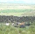 Cattle sheltering - geograph.org.uk - 220339.jpg