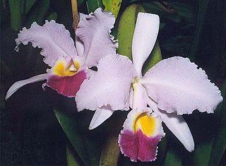 <i>Cattleya trianae</i> species of plant