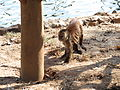 Cebus olivaceus zoo 1.jpg