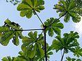 Cecropia Herbivory - Flickr - treegrow.jpg