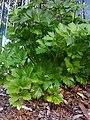 Celery (2905891576).jpg