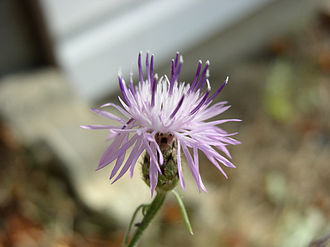 Pioneer species - Centaurea maculosa, an example of pioneer species