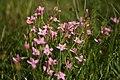 Centaurium-erythraea-flowers.JPG